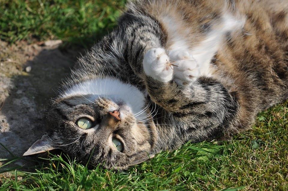 kat overgewicht