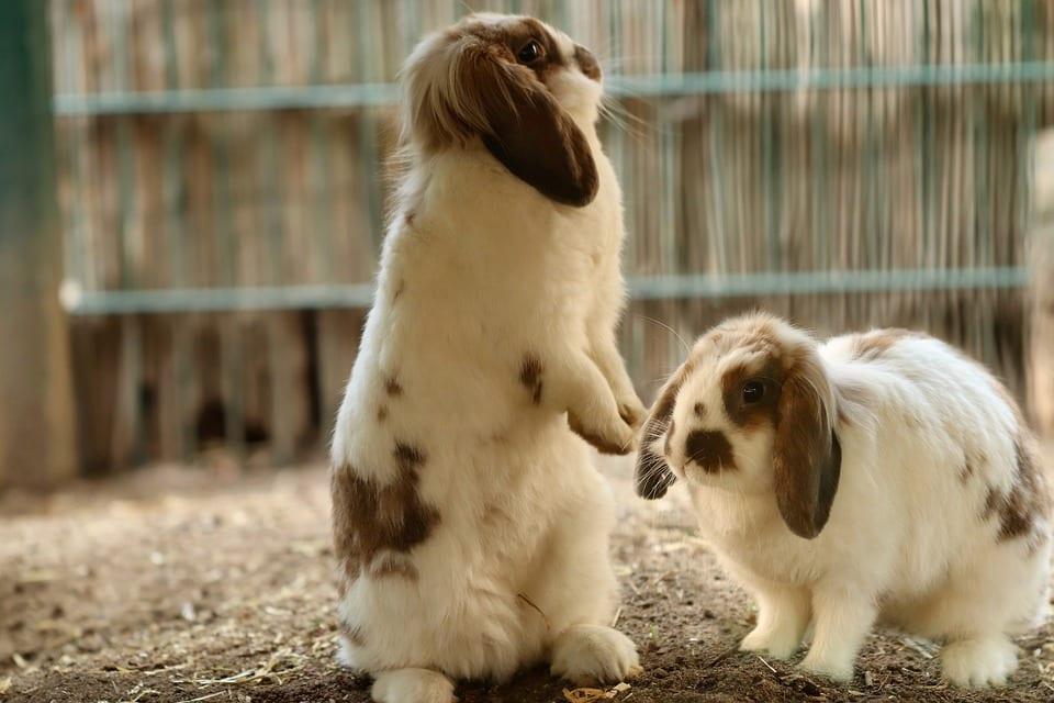 konijnen koppel