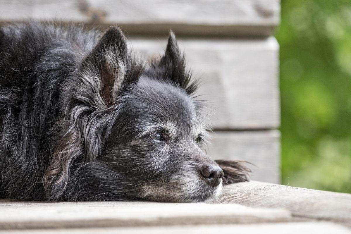 hond grijs